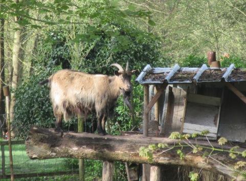 Goat near Long