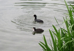 Hungry young coots