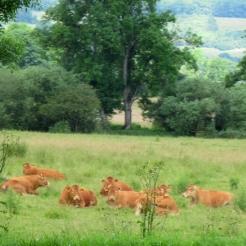 Comfortable cows