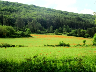 Patches of poppies