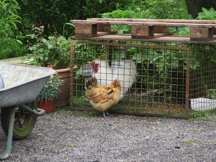 Hens at Curel lock