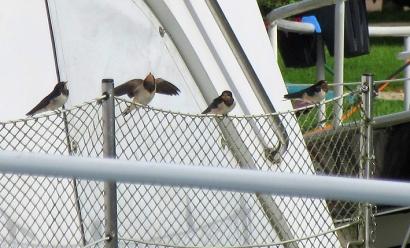 Swallows at Pont Royal