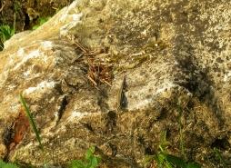 Lizard at Anizy