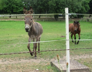 Diou donkey and friemd