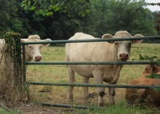 Diou cattle mates