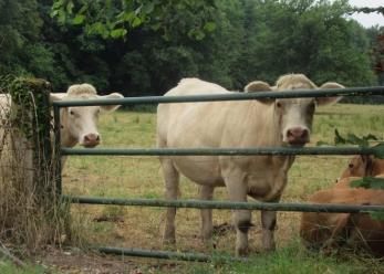 Diou cattle mates