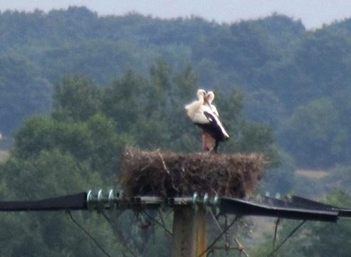 Storks nesting on telegraph pole
