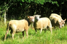 Monteaux sheep