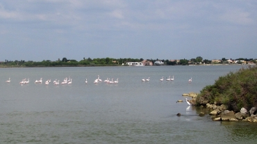 camargue_flamingoes