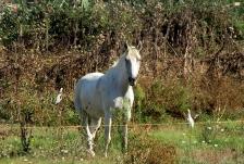 camargue_horse
