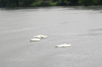 Rhone swans a'sleeping