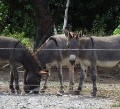 trebes_donkeys