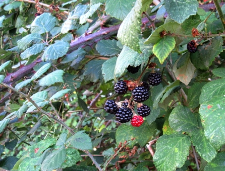Villesequelande berries