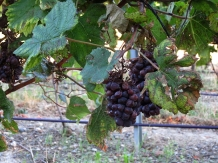 villesequelande_vines_1