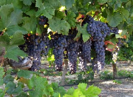Villesequelande grape harvest
