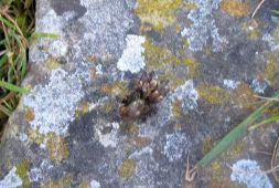 Biting spider, rescued from canal
