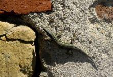 Lizard friend
