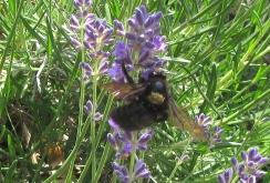 Black bee carrying pollen