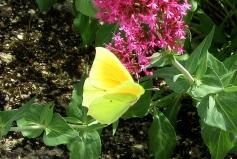 Claremont Soubiran butterfly