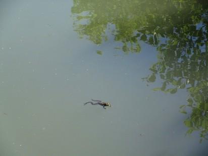 Damazan frog