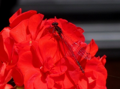 dragonfly on geranium