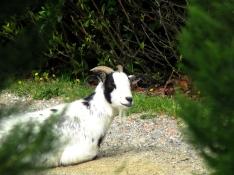 grisolles_goat