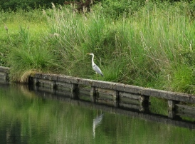 Heron near lock 50