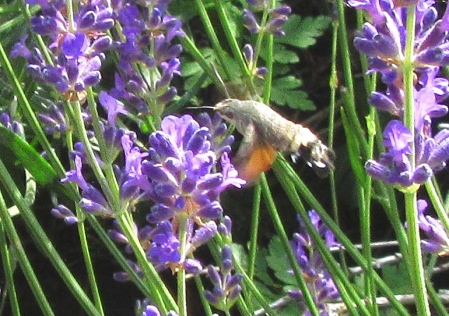 humming bird moth