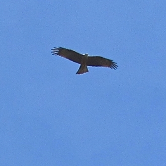 Black kite over Month