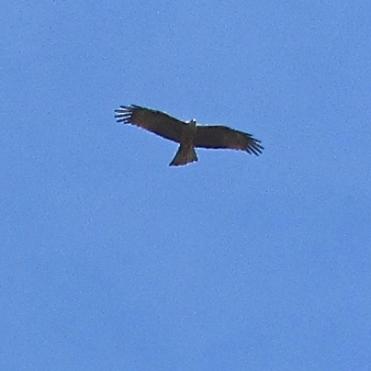Black kite over Month