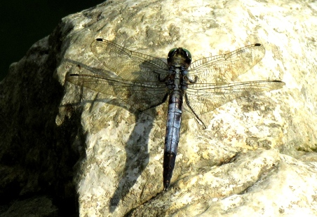 blue dragonfly lac bleu
