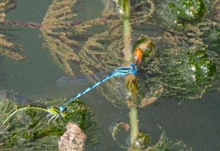 Bressols dragonflies mating