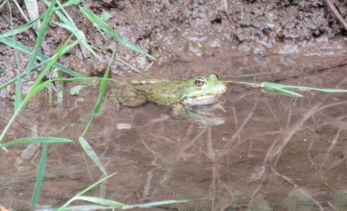 First visible frog