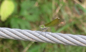 Bressols green dragonfly 3