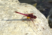 red dragonfly lac bleu 2