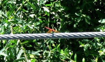 Bressols dragonfly