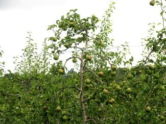 Corbarieu bike ride pears