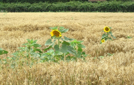Corbarieu bike ride sunflowers