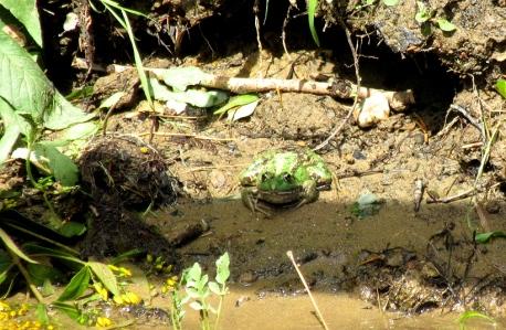 Corbarieu frog 3