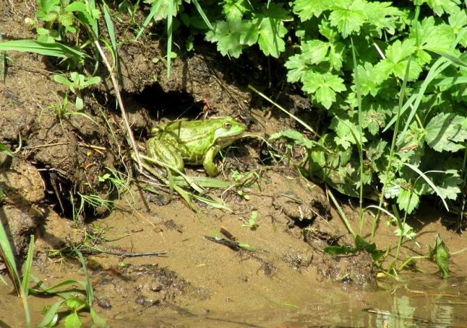 Corbarieu frog 4