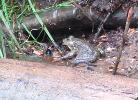 Corbarieu frog
