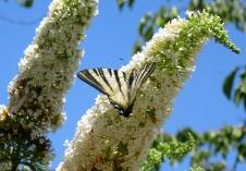 Lauzerte butterfly