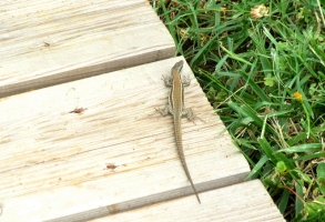 Montauban port lizard