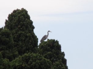 High flying heron