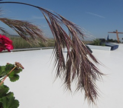Visible purple grasses